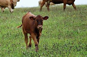 В Ишимбае полиция выявила нарушения правил выпаса скота