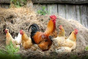 Ветеринарные специалисты напоминают об опасности птичьего гриппа