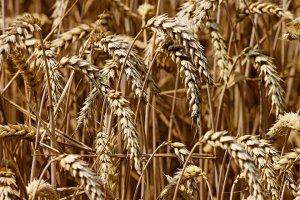В Ишимбайском районе убрано более трети зерновых культур